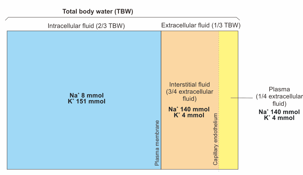 Distribution of body fluid compartments