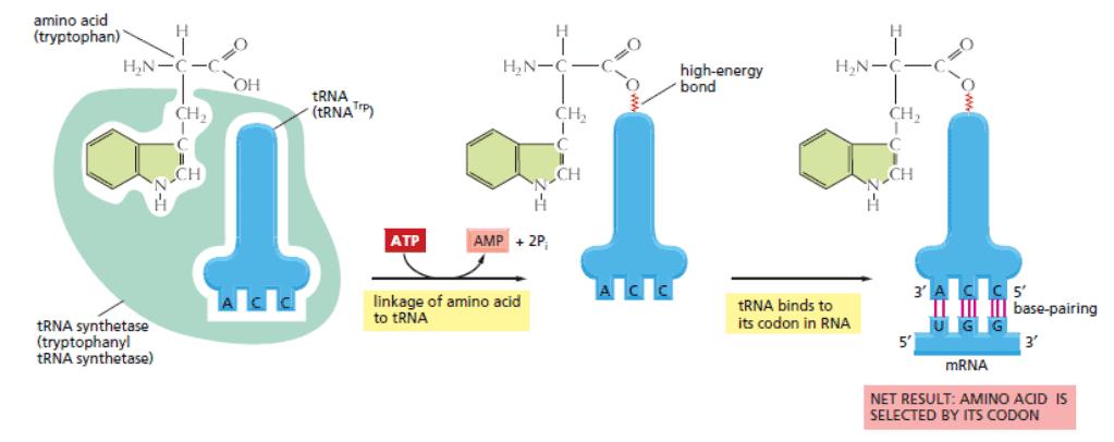 Dua adaptor dalam proses dekoding kode genetik