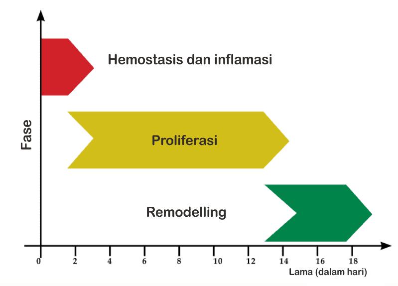 Fase penyembuhan luka