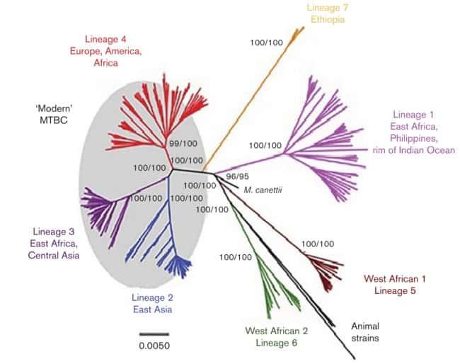 Filogeni Mycobacterium tuberculosis complex