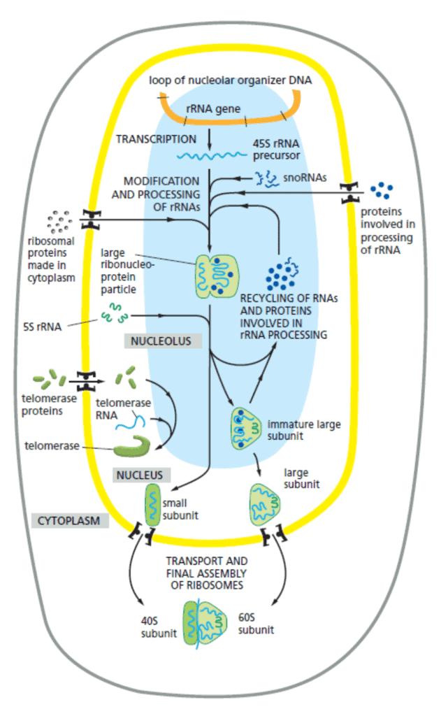 Fungsi nukleus dalam sintesis ribosom dan ribonukleoprotein lainnya