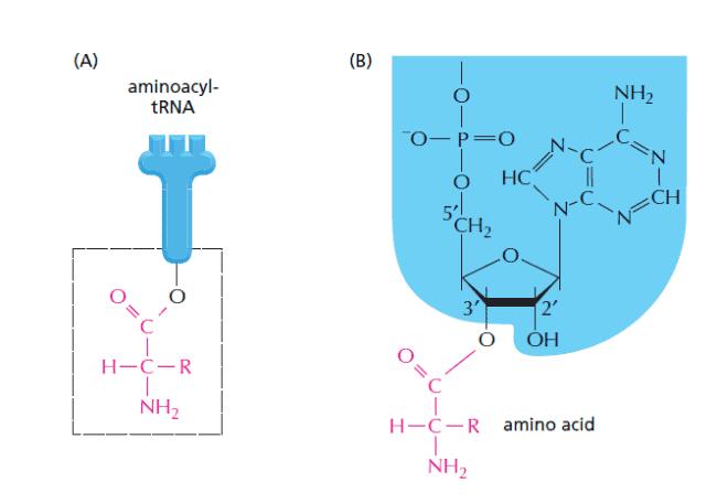 Jenis ikatan asam amino dengan tRNA
