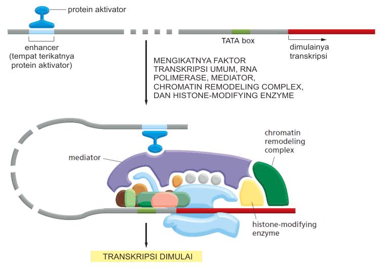 Inisiasi transkripsi DNA oleh RNA polimerase II pada eukariota