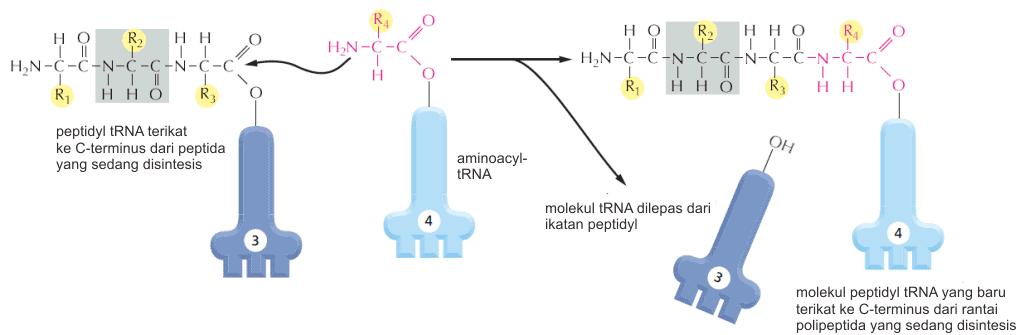 Proses penambahan asam amino ke rantai protein