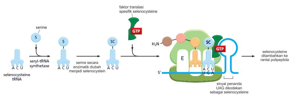 Mekanisme inkorporasi selenocysteine pada proses sintesis protein