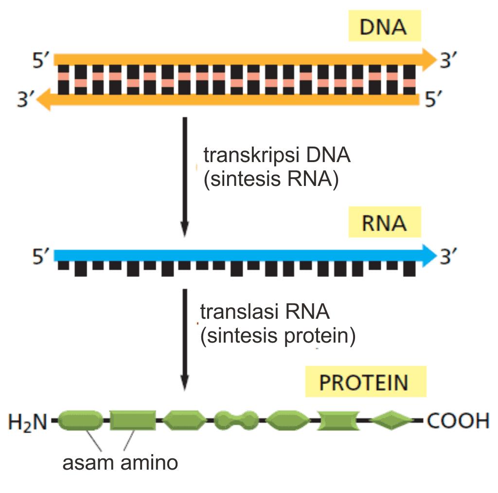 Jalur sintesis protein dari DNA