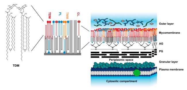 Model struktur dinding sel mycobacterium