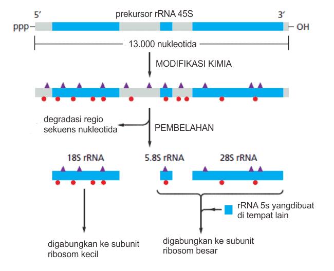 Modifikasi prekursor rRNA 45S eukariota dan membentuk tiga rRNA yang terpisah
