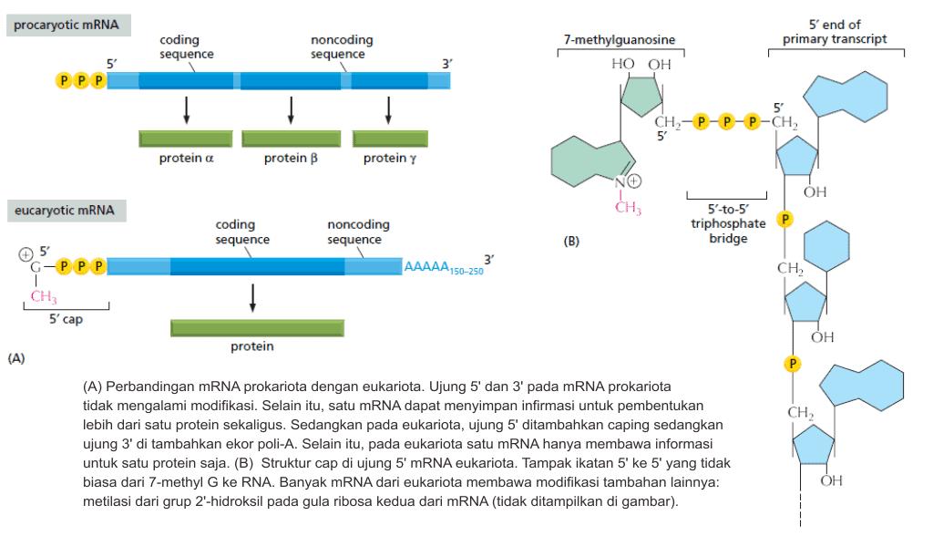 Modifikasi ujung 5' pada mRNA eukariota
