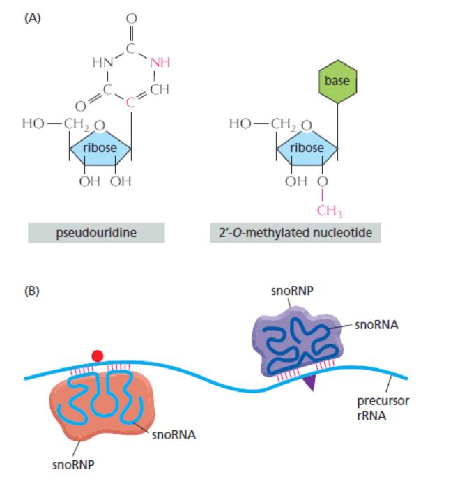 "Modifikasi prekursor rRNA oleh ""DNA pembimbing"""