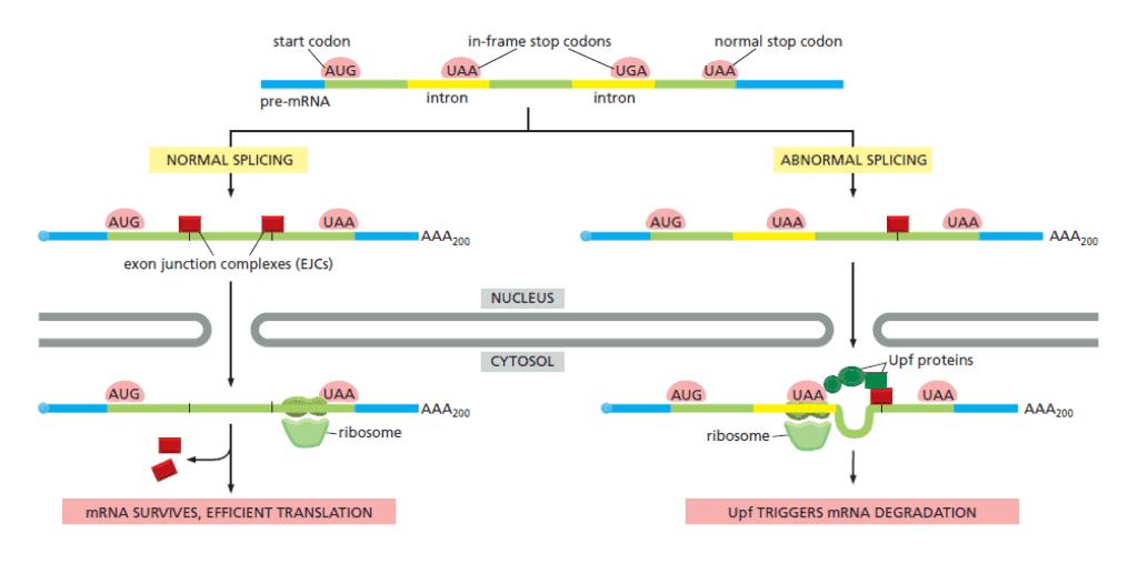 Mekanisme nonsense-mediated mRNA decay