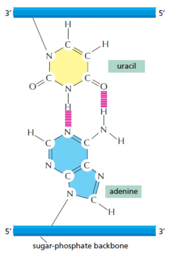 Adenine berpasangan dengan uracil pada RNA