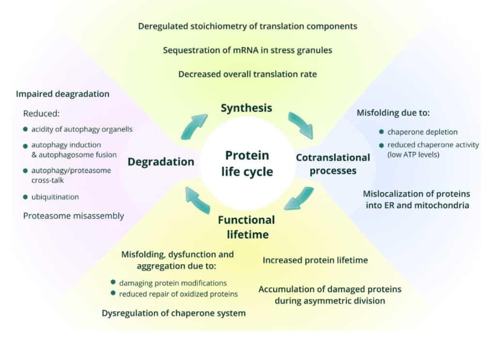 Penuaan dan perubahan siklus protein