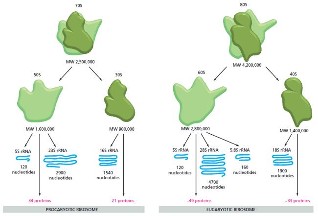 Perbandingan ribosom prokariota dengan eukariota