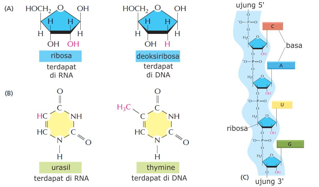 Perbedaan DNA dengan RNA