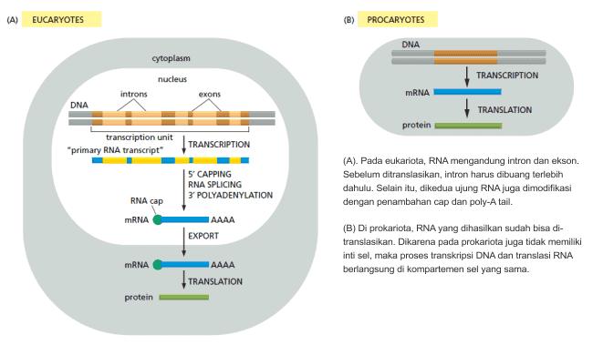 Perbedaan langkah transkripsi DNA ke translasi RNA antara prokariota dan eukariota.