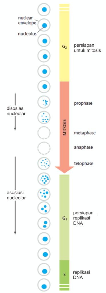 Perubahan penampakan nukleus spepanjang siklus sel