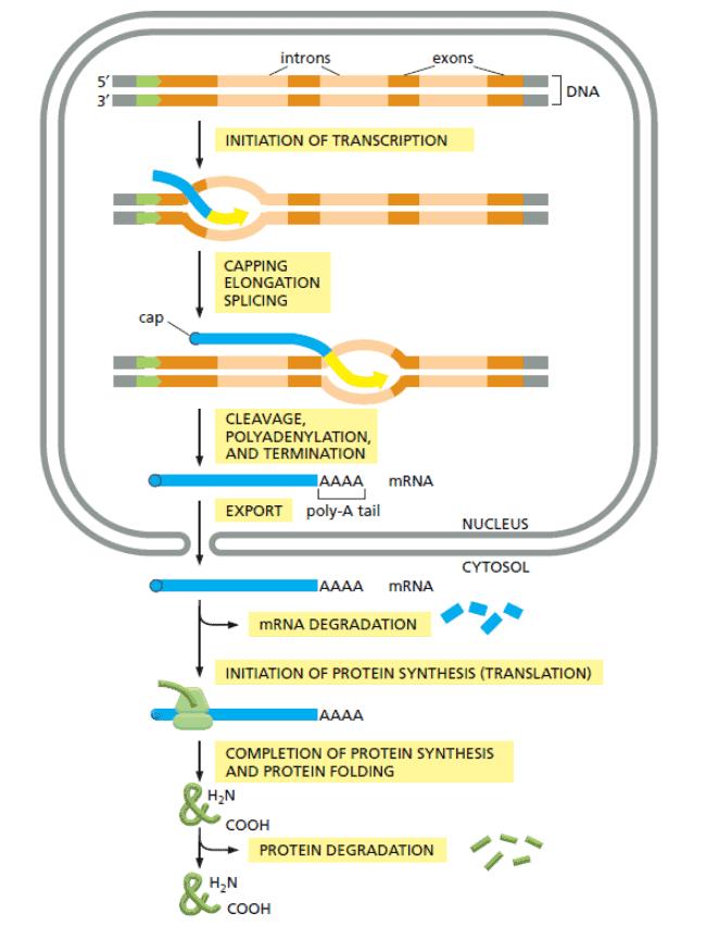 Sintesis sel pada sel eukariota