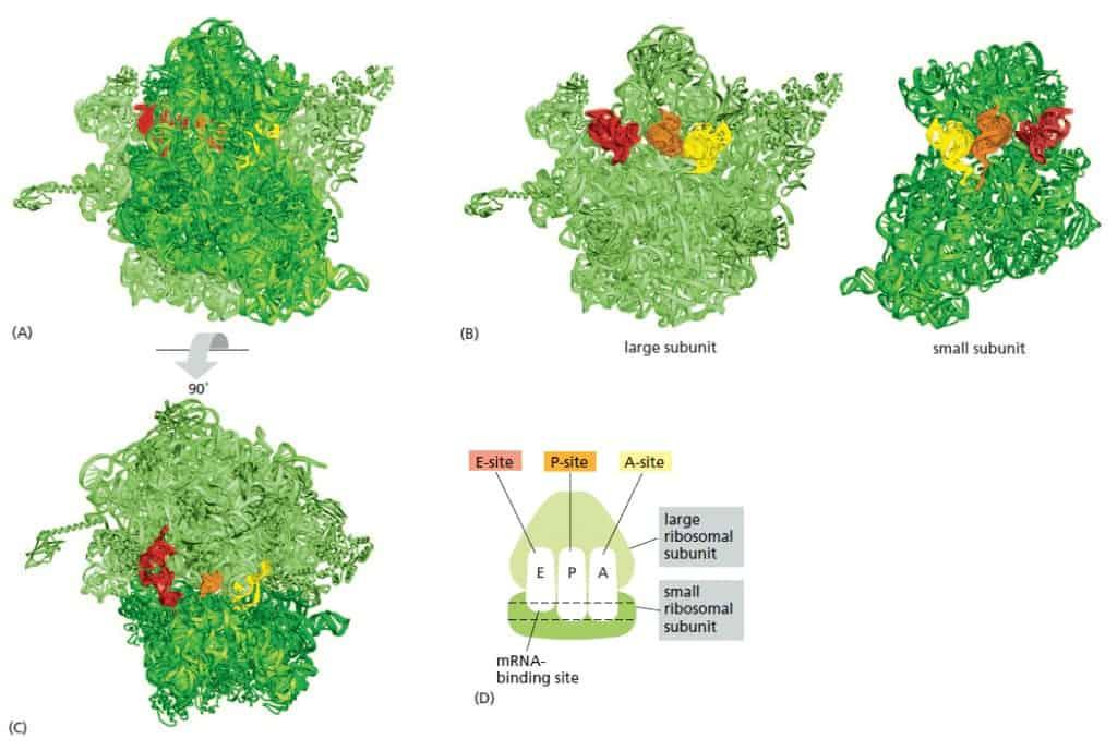 RNA-binding site pada ribosom