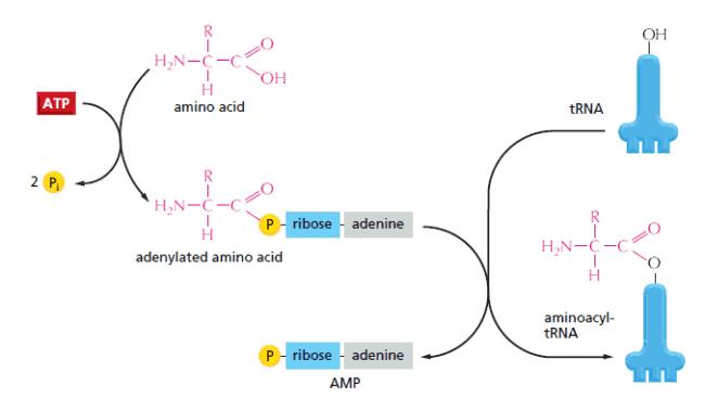 Reaksi pembentukan tRNA