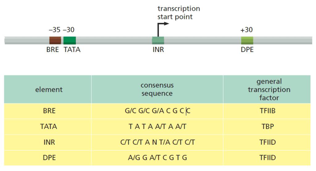 Sekuens konsensus di sekitar titik dimulainya transkripsi DNA oleh RNA polimerase II