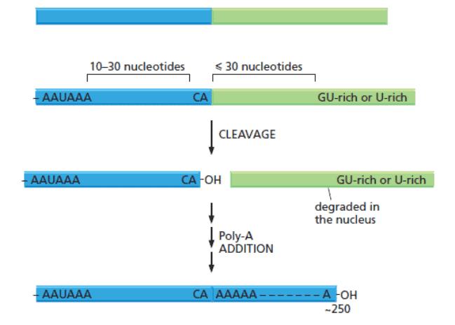 Sekuens nukleotida konsensus yang mengarahkan pemotongan dan poliadenilasi ujung 3' mRNA