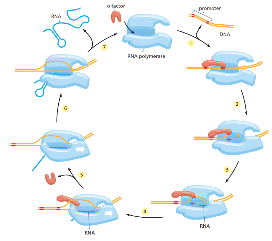 Siklus transkripsi RNA polimerase bakteri