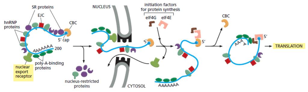 Skema ekspor mRNA dari nukleus melalui NPC
