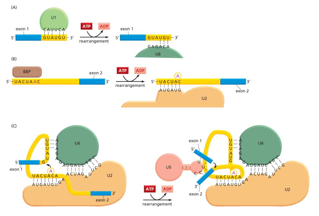 Perubahan susunan spliceosome.