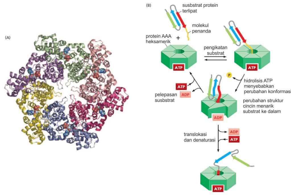Struktur heksamerik dan mekanisme kerja protein AAA atau unfoldase