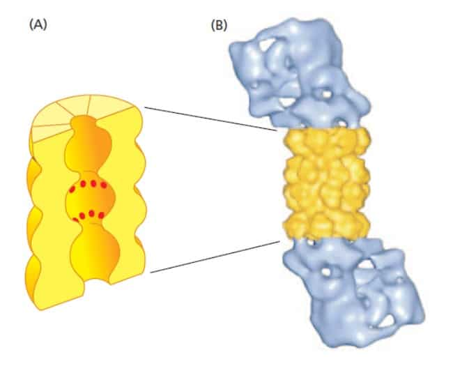 Struktur proteasome