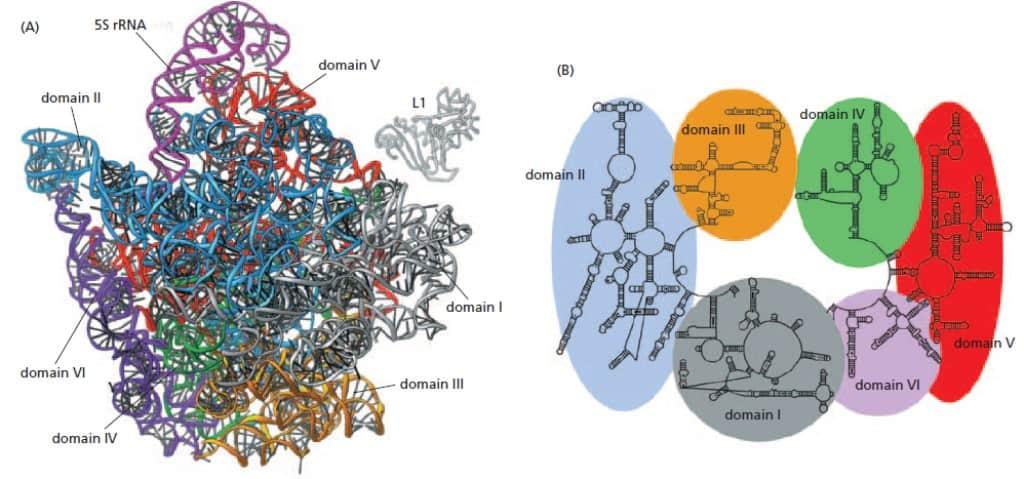 Strukur RNA subunit besar ribosom bakteri.