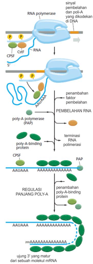 Tahapan modifikasi ujung 3' dari mRNA