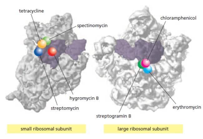 Tempat ikatan antibiotik pada ribosom bakteri dalam kaitannya dengan menhambat proses sintesis protein