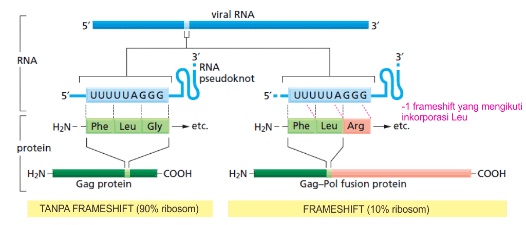 Transcriptional frameshifting pada retrovirus.