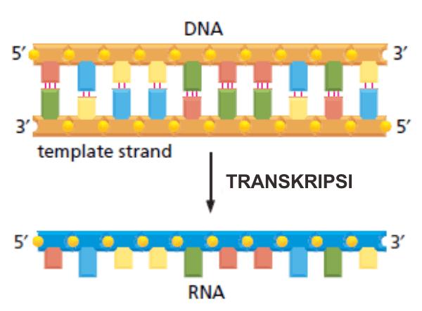 Transkripsi menghasilkan molekul single strand RNA