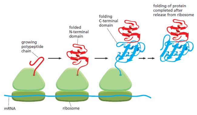 Proses translasi dan pelipatan protein yang berlangsung secara bersamaan