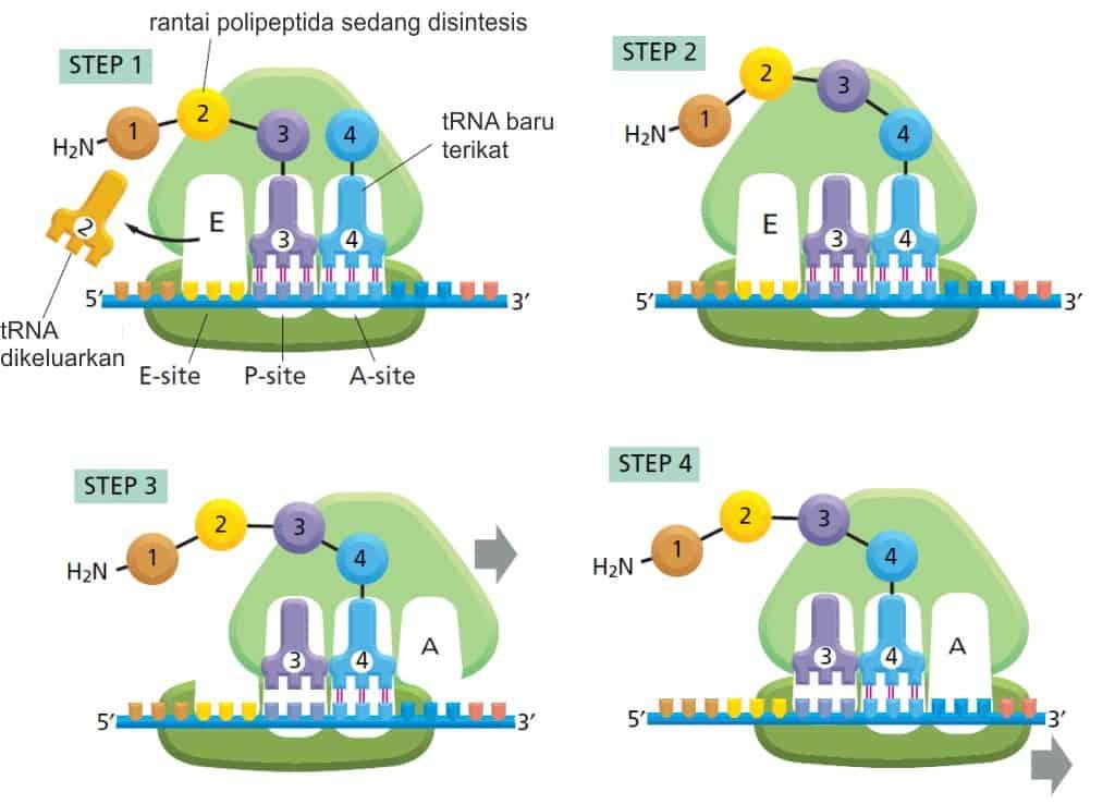 Translasi molekul mRNA