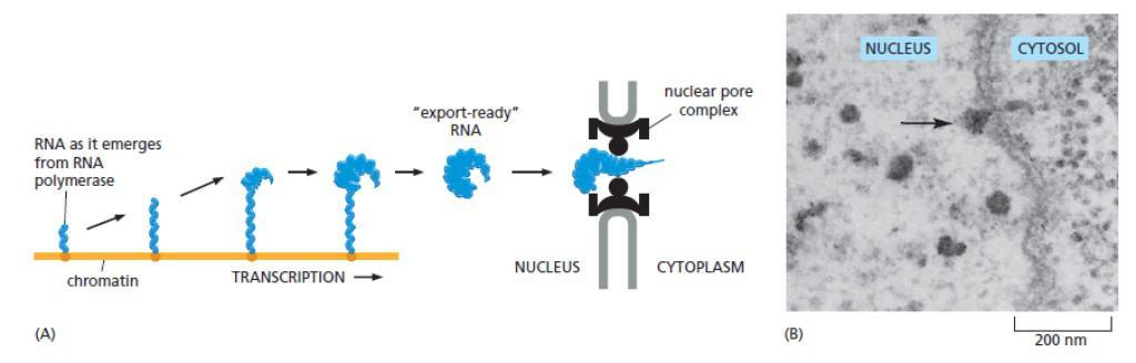 Transpor mRNA melalui NPC