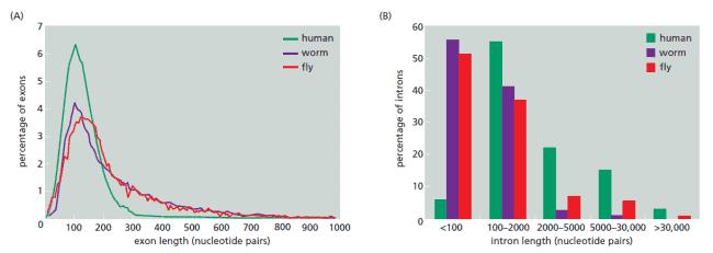 Variasi panjang ekson dan intron pada manusia, cacing, dan lalat