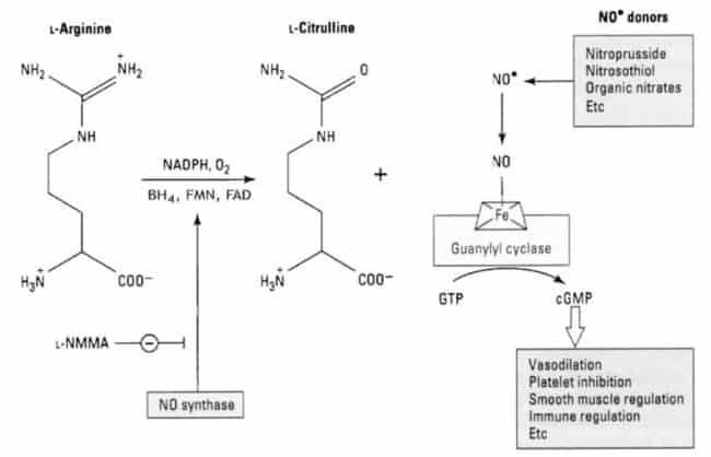 Reaksi produksi NO dan cGMP