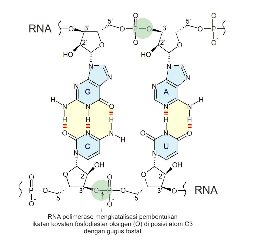 Ikatan fosfodiester di RNA yang dibentuk dengan bantuan enzim RNA polimerase