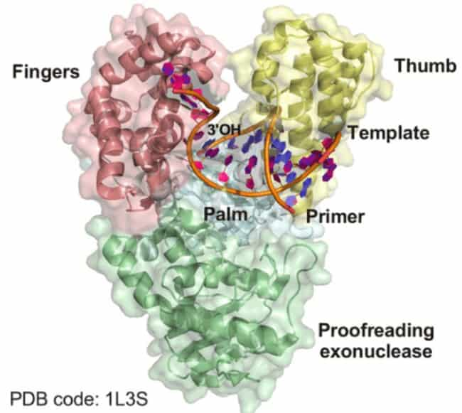 Struktur kristalografi DNA polimerase I dari Geobacillus stearothermophilus.