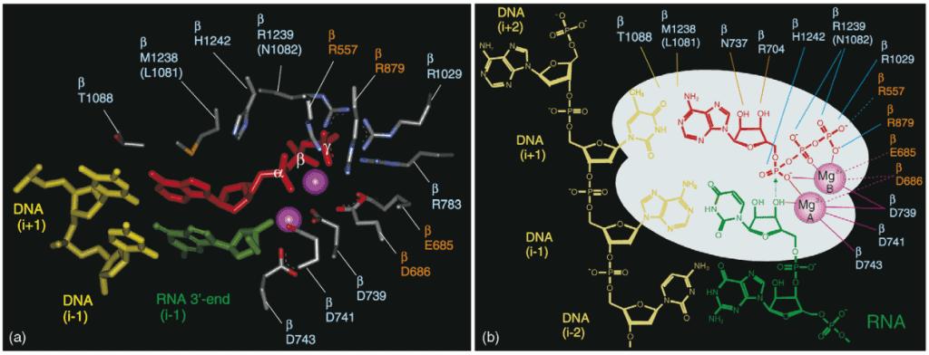 Situs katalitik RNA polimerase