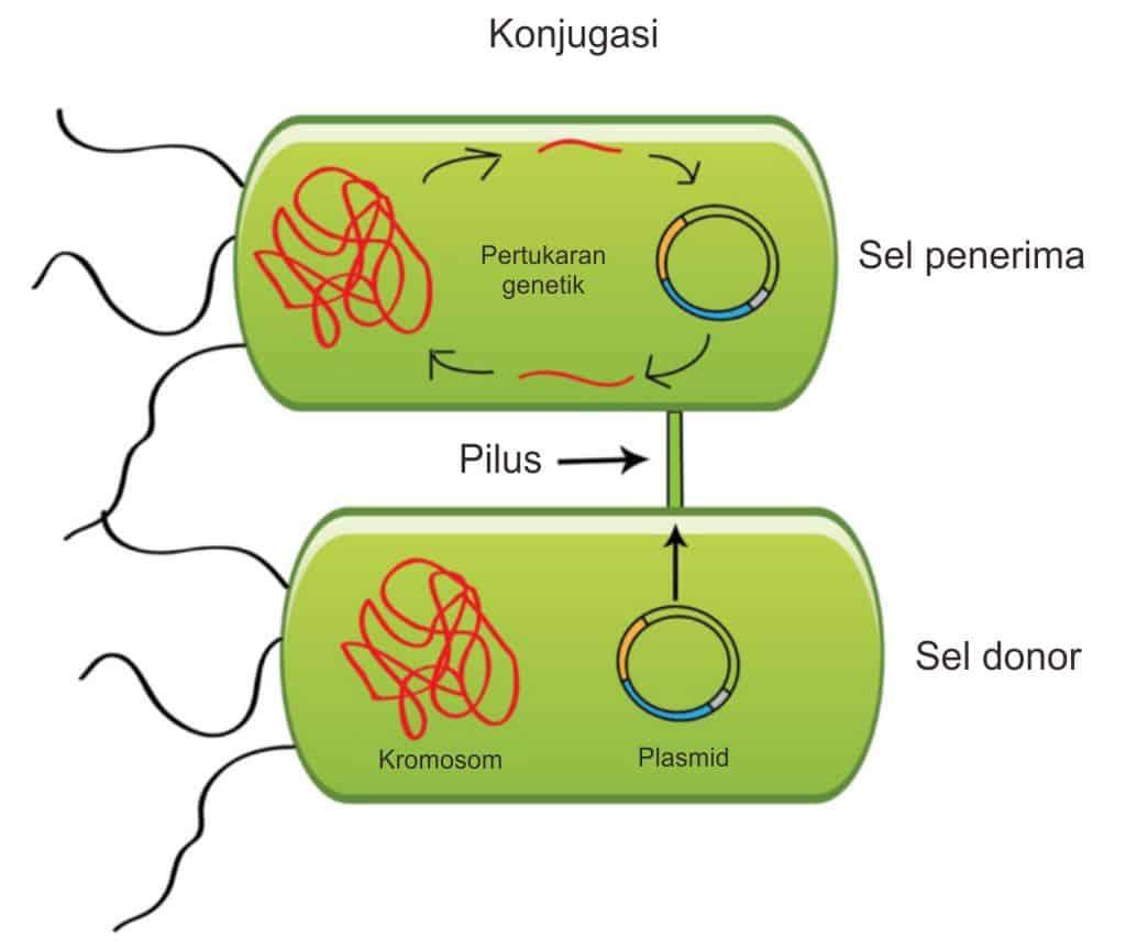 Diseminasi plasmid melalui proses konjugasi bakteri