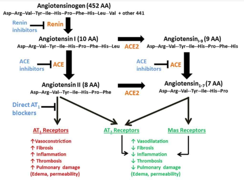 Kontra regulasi angiotensin1–7 terhadap angiotensin II