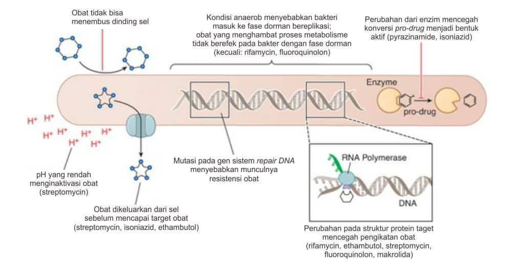 Bagan mekanisme resistensi MTB terhadap antibiotika