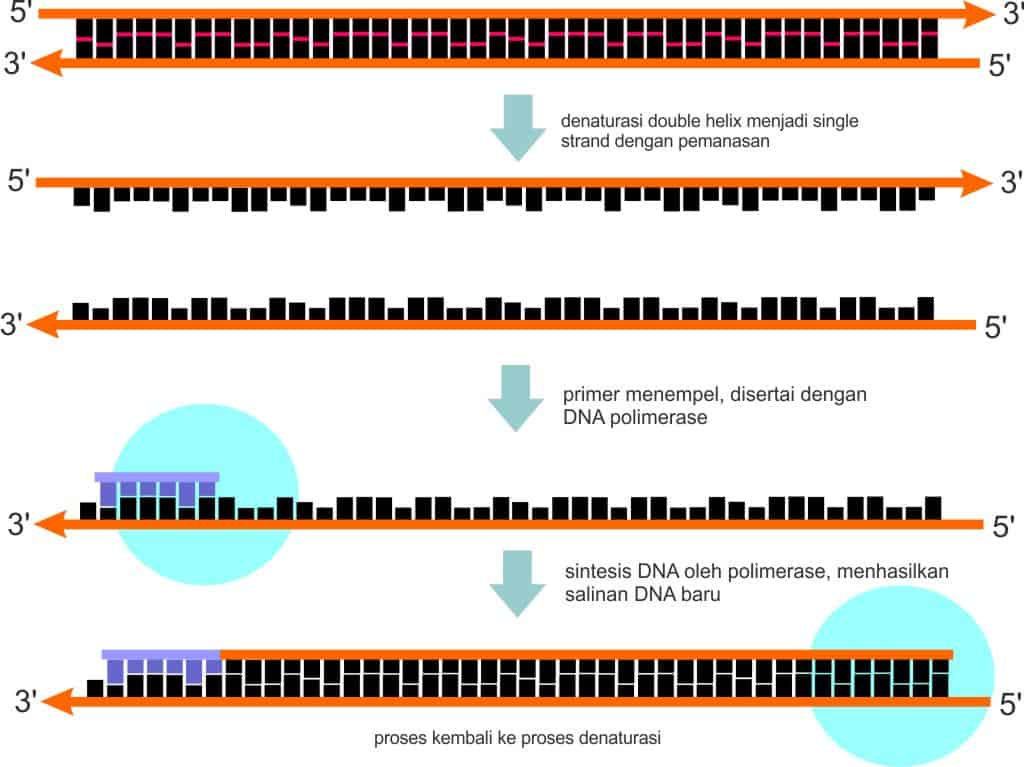 Konsep proses sintesis DNA yang dikemukakan Kjell Kleppe dan Gobind Khorana
