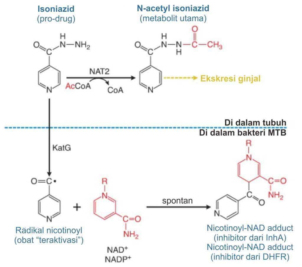 Aktivasi dan metabolisme isoniazid