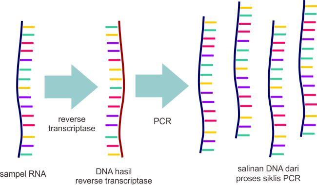 Proses dasar RT-PCR